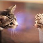 ボクはアフリカンピグミーヘッジホッグ=ハリネズミ、子猫と会いました。
