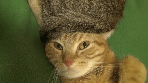 猫のしっぽの天然お帽子!!ふわふわモフモフでぐっすり眠っちゃうzzz…動いても安定のフィット感☆