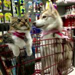 ママはハスキー犬!犬に育てられた猫のロージーってどんな子??見た目は猫。中身は犬!?顔つきまで犬っぽくて可愛いw