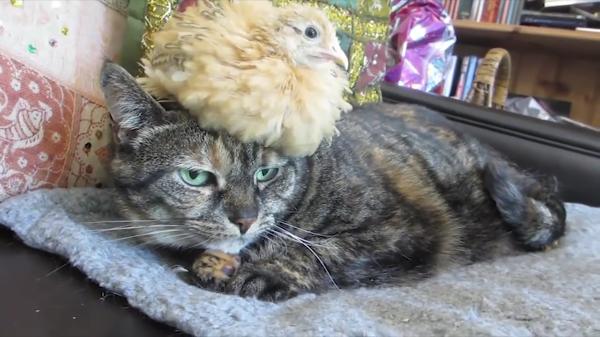 可愛すぎ♡猫とひよこが一緒にお昼寝zzz…猫がひよこを枕に!?でも、大きくなったら立場逆転してて笑えるww