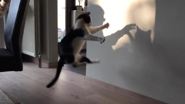 「にゃんだこれはー!?」叩いても飛びついても捕まらない、壁に映った影に翻弄されまくる猫ちゃん