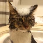 ママはハスキー犬!犬に育てられた猫のロージーの泡あわお風呂タイム♪見つかるかな??こっそり見守る母リロの姿w