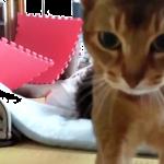 「怒られたにゃ…」寝ているご主人をわしゃわしゃ攻撃で起こそうとする猫ちゃんだけど…
