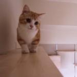 キャットウォークの最上階ってどんな景色??マンチカンの猫ちゃんが「ご案内するにゃ〜♪」