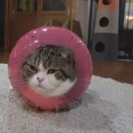 【まる】無類の箱好き!のまるが入ったおもちゃは子猫用!?ムッチムチのまるが今日もオモシロ可愛いw