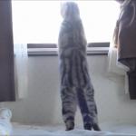 「ぴぎゃ〜!うぎゃ〜!」ケンカしている外猫をビビリながら監視する猫のアメちゃんが屁っ放り腰でウケるww