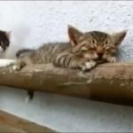 子猫×おねむ=最強にカワイイ!にやにやしてしまうので注意してご覧ください♪