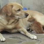 「あたちのママはでっかいの!」拾われた子猫を世話するラブラドール!