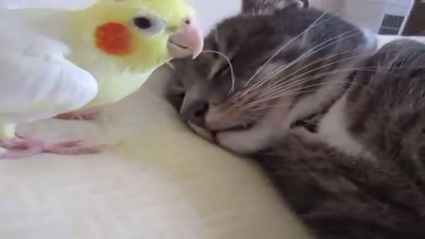 小鳥「ひげ引っ張って起こしちゃお♪」猫「ええ~眠いよ~」小鳥と猫のラブラブ動画♡