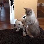 猫ちゃんVS子犬♡元気すぎる子犬ちゃんたちにタジタジの猫ちゃんたちの反応がウケる(笑)