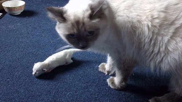 【迷子猫】生後三日の生まれたての赤ちゃん猫をレスキューする母猫
