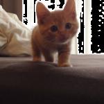 超スローな茶トラの子猫。こちらに向かってくるのが遅すぎっ(笑)とってもマイペースな子猫が可愛いすぎる♡