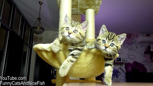 女子テニスに熱狂する猫♡二匹の子猫ちゃんの動きがシンクロしすぎてすごい!