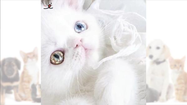 にゃんだこの子は!?星の様に美しい瞳を持つオッドアイの白猫さんが美しすぎる…。