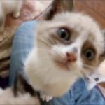 子猫のハーレム♡飼い主さんに甘えるたくさんの子猫と嫉妬しちゃった成猫の甘えっぷりが可愛い♪
