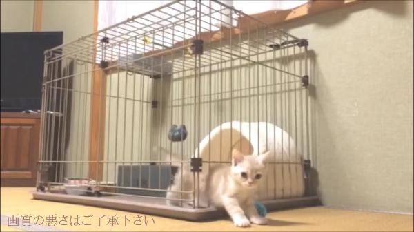 子猫はこうやってケージから脱走します!ちょっとお尻が突っかかっちゃう子猫の脱走劇wwまさかそんな所から…