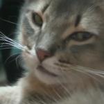 「泥棒猫め…。」飼い主さんに甘えるアメショー猫さんに密かに嫉妬して殺し屋の様な視線を送るソマリ猫さん!怖っww
