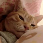 掛け布団を持ち上げると当たり前のように中に入って寝る猫ちゃんzzz幸せそうな表情がたまらん♪