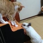 同居うさぎさんの寝床を奪ってしまった猫さん。怒ったうさぎさんの反撃がスタート!!