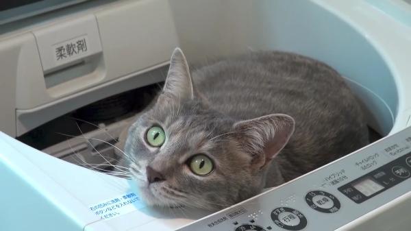 洗濯機の住猫。洗濯機がお気に入りすぎて住人ならぬ住猫になりつつある猫ちゃんww