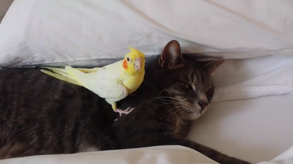 小鳥「猫さんに手を出すなっ!」猫「…(爆睡)」人間から猫を守る小鳥が健気♡