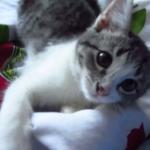 【悩殺】朝から子猫がめっちゃ甘えてきて思わずデヘヘってなっちゃう動画!