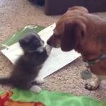 犬「こんにちは、おチビちゃん」ちっちゃい子猫とでっかいわんちゃんの初対面♡