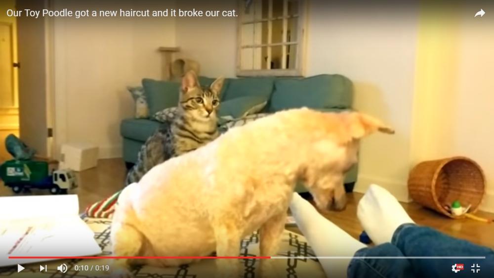 え?君は誰にゃ?一緒に住んでるトイプードルのサマーカットを見た猫ちゃんの反応が可愛い(笑)