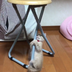 「ココに登りたいにゃ〜」何度やっても登れない子猫。ピョンピョン!ズッテン!を繰り返す姿が可愛すぎる♡