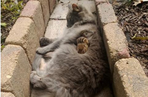 『やぁ!』『・・・こんにちは♡』お散歩中の猫がふれ合ったフレンドリーなシマリス