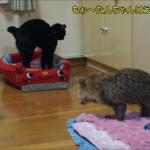 お気に入りのベッドを占領する猫ちゃんに怒るタヌキさん。しかし、マイペースな猫ちゃんには敵いませんでしたww