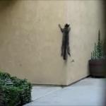 なんてこった!!壁を登って帰宅する猫ちゃん!忍びの様に華麗に壁を登り「ただいまにゃ〜♪」