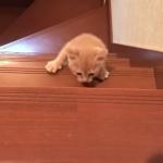 子猫の大冒険!!自分と同じくらいの高さの階段を一所懸命登る子猫の姿に思わず応援したくなっちゃう!
