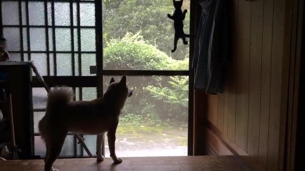 いつでも一緒!黒猫の子猫と子猫のベビーシッターのような柴犬が仲良しすぎてほっこり♡