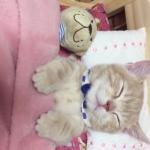 myベッドで寝る子猫!枕に頭を乗せ、お布団をかけて、ぬいぐるみと一緒に寝る姿が可愛すぎる♡