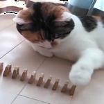 猫ちゃんと飼い主さんの連携プレイで将棋倒し☆並べる飼い主と倒す猫www