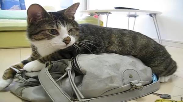 「どしたにゃ?」飼い主さんのお出かけ用バッグの上にどっかりと乗り、おでかけを平然と阻止する猫ちゃんが可愛いww