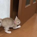 隙間が狭くて部屋に入れない子猫。でもそれ扉だから開くんだよww扉が開く事に気付いた子猫は扉に怒りのアターック!!