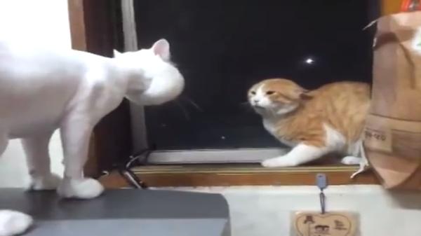 ちょ、何これ?!wwwサマーカットの喋る猫にビビりまくり茶白猫。シュールすぎる二匹www