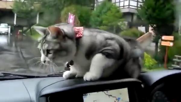 車のワイパーが気になりすぎる猫ちゃんに思わず爆笑…その動きはちょっとしたトレーニング?(笑)