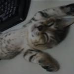 【へそ天&猫の開き】ぽんぽん丸出しで寝る子猫がかわい過ぎる!!