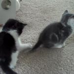 兄弟が尻尾にじゃれてくるけどめっちゃクールな子猫!大人だなぁ・・・