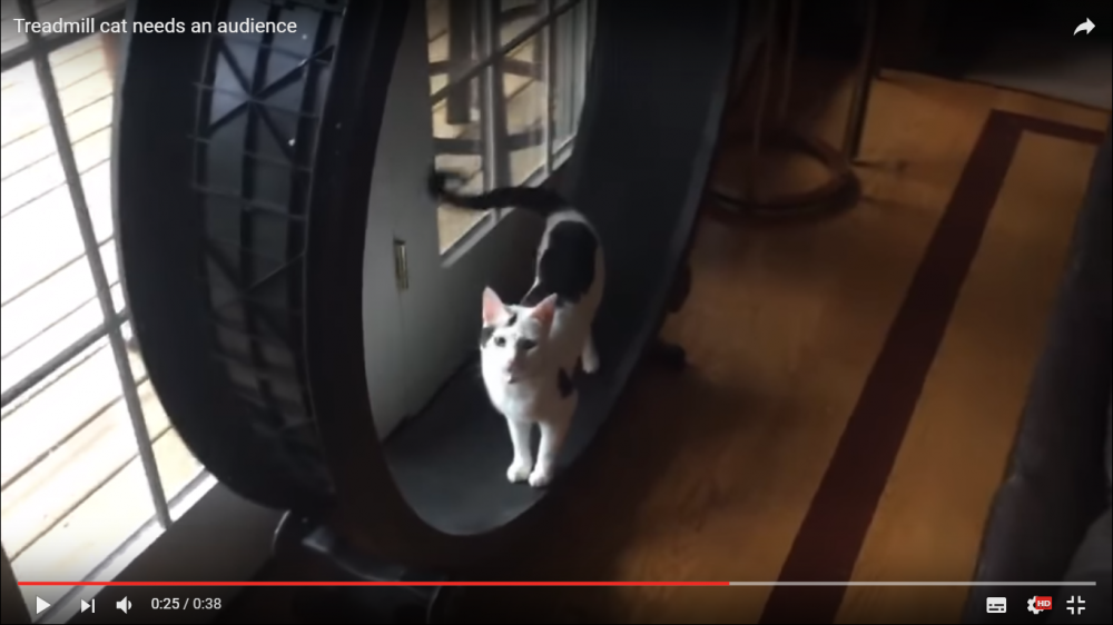 まるでハムスター?回転式のランニングマシーンで走る様子をアピールする猫ちゃん(笑)
