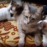 ドッグシッター猫?大量の子犬たちにもみくちゃにされつつも面倒を見てあげる猫ちゃんがすごい(笑)