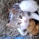 アヒルを育てるママ猫「…ん?うちの子になにかするの?受けて立つわよ?」