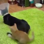 子猫「わ~いシッポ!楽しい~!!」大人猫「私は大人…私は大人…」お疲れ様です…。