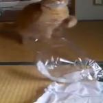 「ビニール袋にゃ♪」と袋で遊んでいた猫ちゃんがお父さんに呼ばれると「お父さんにゃー♡♡」とすっ飛んで行く姿が可愛い