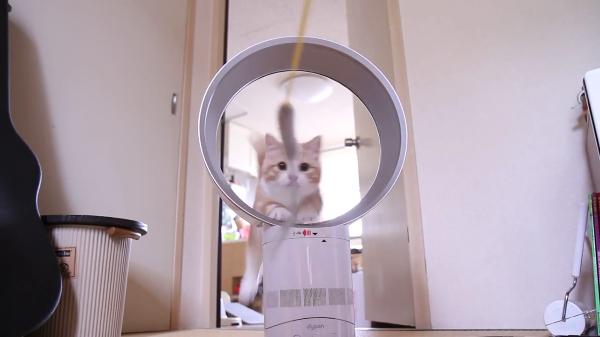 ダイソン。それは猫が輪くぐりする扇風機!短足マンチカンが輪くぐりするよー♪