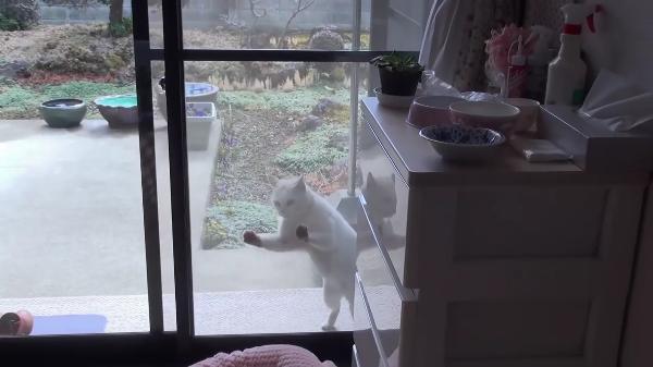 飼い猫さんがお留守の間に網戸を開けて侵入しようとした近所の猫ちゃん。入ろうとしてるのバレてますよw