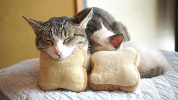 見ているだけで癒され度MAX♡食パンにあご乗せして絵に描いたような寝方をする子猫と先輩猫ちゃんが可愛すぎる♪